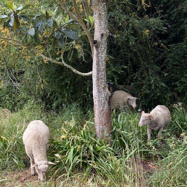 Schafe im Garten.