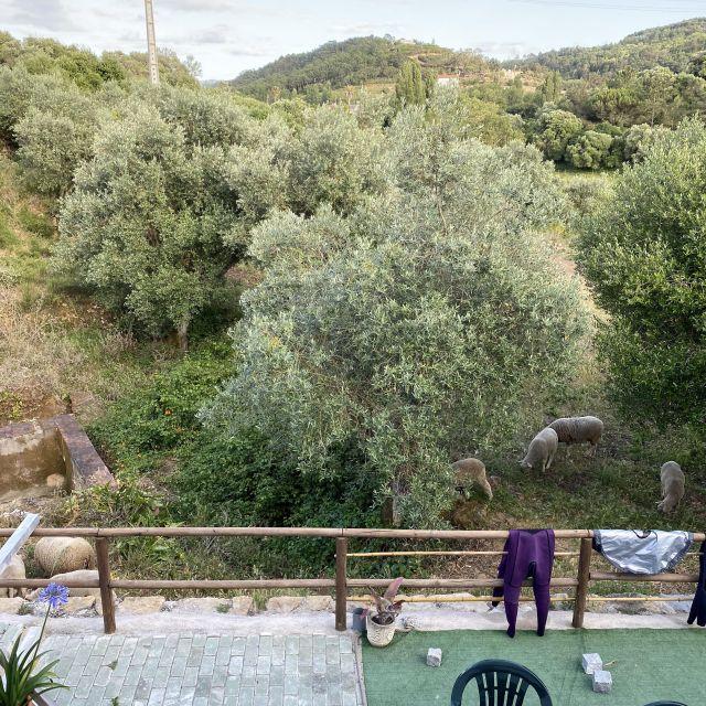 Blick auf die Terrasse, Schafe und Olivenbäume.
