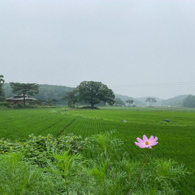 Blick über Reisfeld mit Blume im Vordergrund