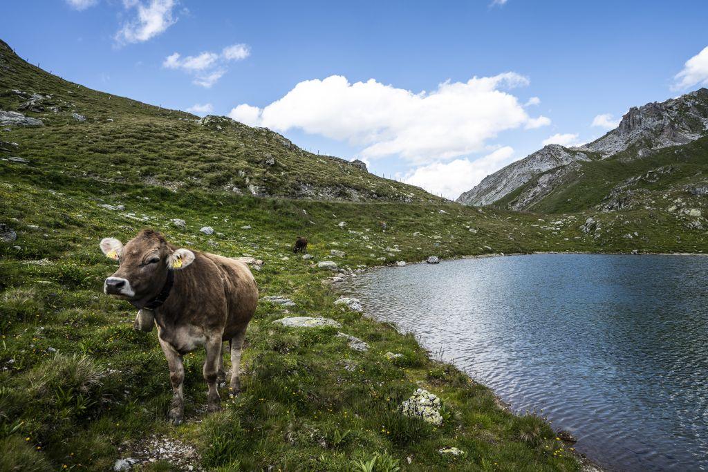 Wilde Kuh