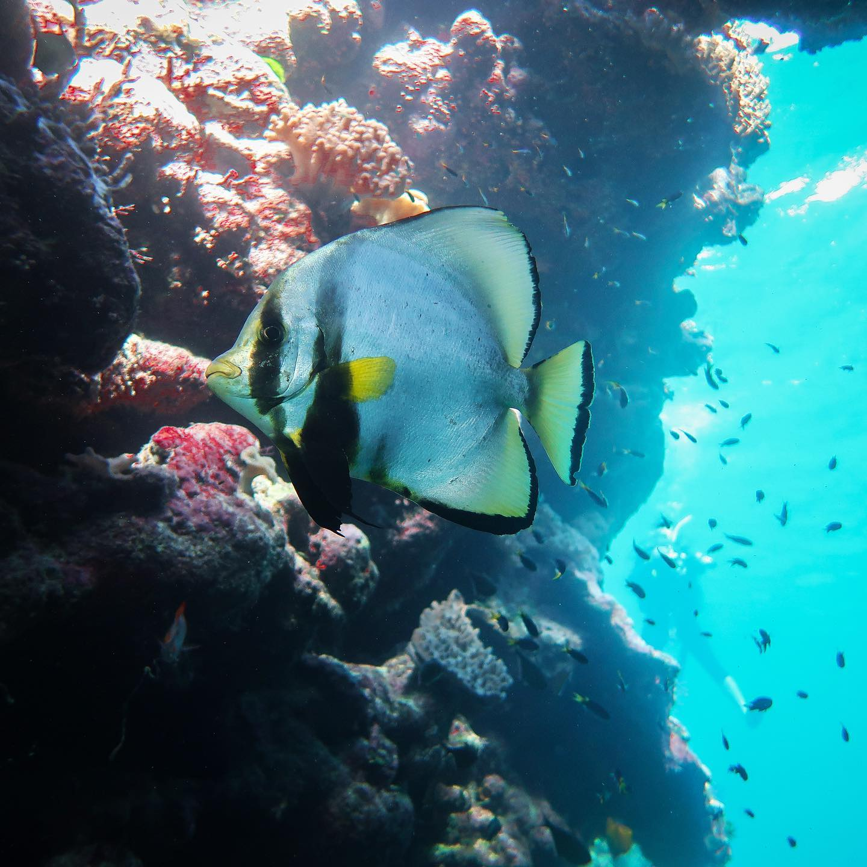 Here comes the Batfish 🐠#erlebees #scubadiving #marinescience