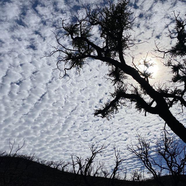 Verbrannte Bäume vor Schäfchenwolken.
