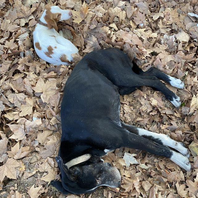 Zwei Hunde im Laub.