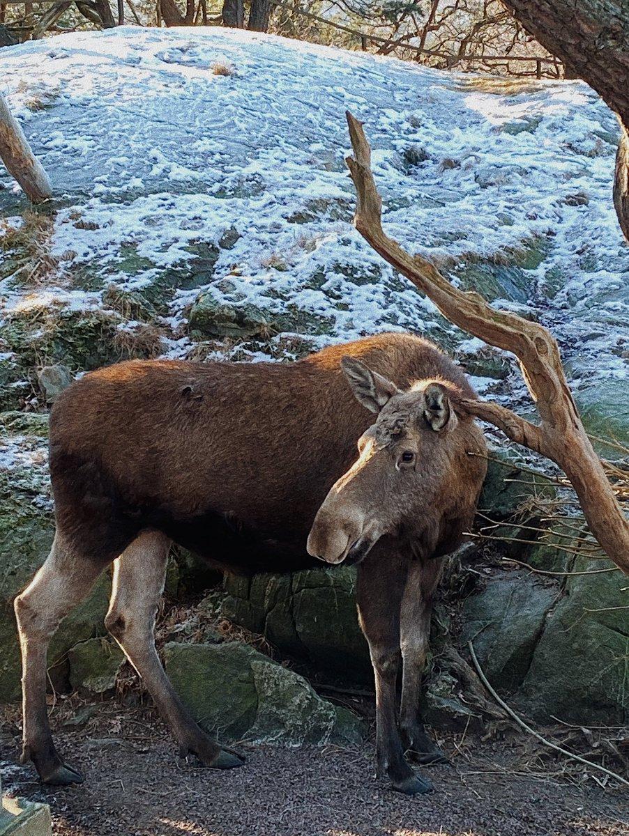 Einmal im Leben einen Elch sehen? Check! ✅ #ErlebeEs #studierenweltweit…