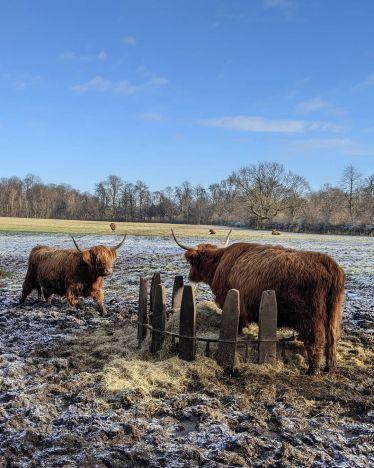 Die Ungleichverteilung hat auch bei den Schottischen Hochlandrindern im Pollok…