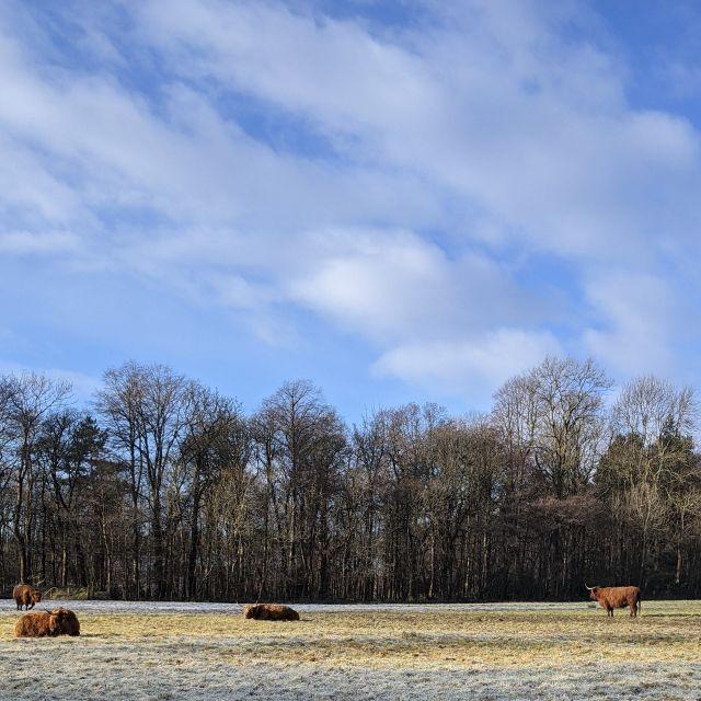 Hochlandrinder im Pollok Park.