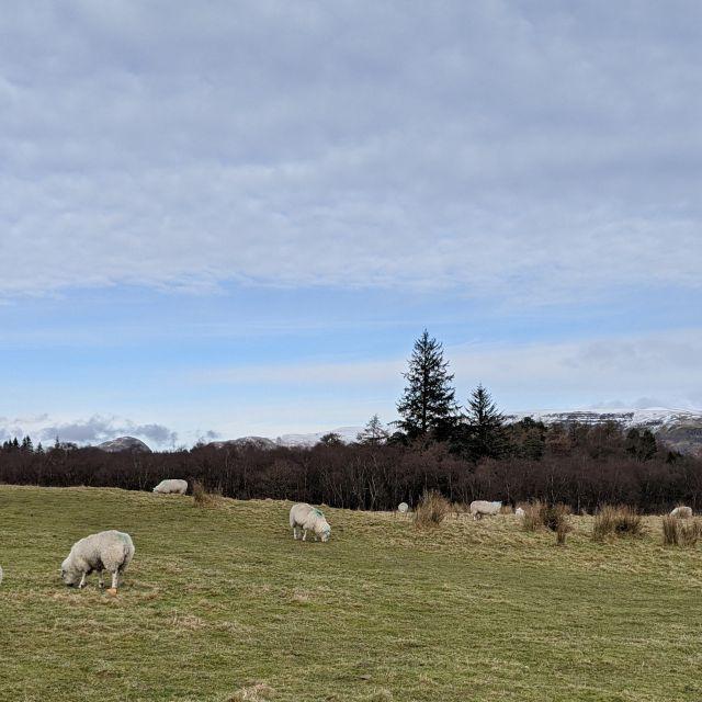 Grasende Schafe vor den schottischen Highlands.