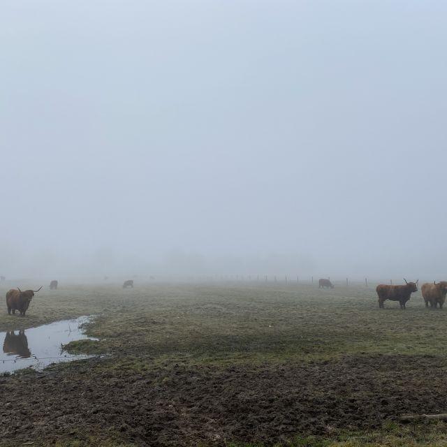 Man kann die Rinder erkennen, die im Nebel auf der Weide stehen.