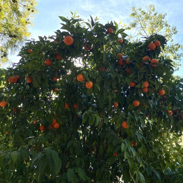 Bei dem Baum auf dem Bild handelt es sich um eine Bitterorange. Diese wachsen in Athen in vielen Straßen, sind jedoch nicht zum Verzehr geeignet.
