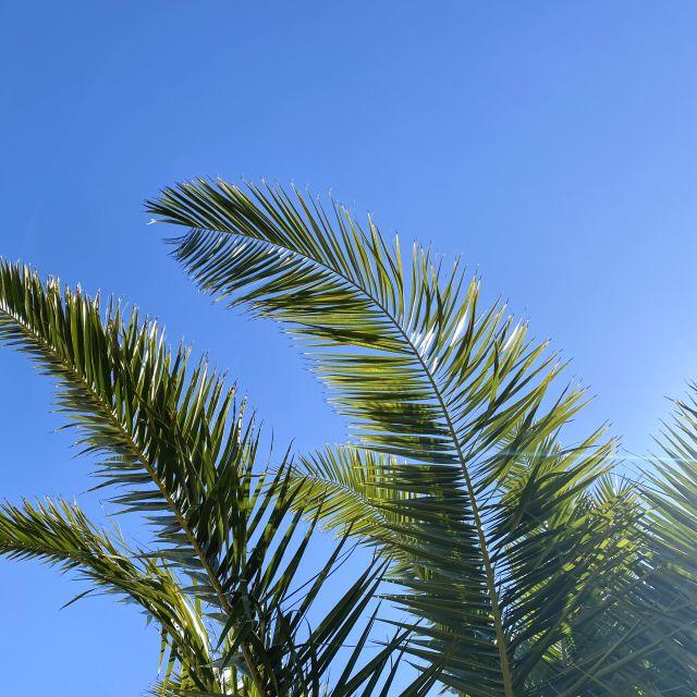 Grüne Palmenwedel wehen sanft im Wind vor einem wolkenfreien, blauen Himmel.