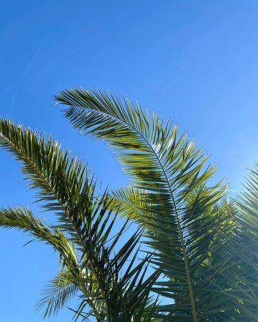 Unter Palmen liegen. …