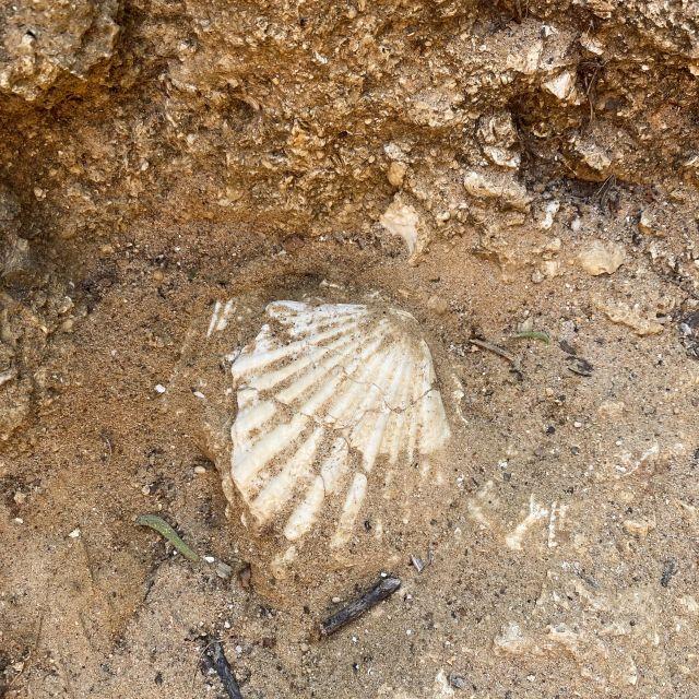 Eine versteinerte Muschel im Felsen.