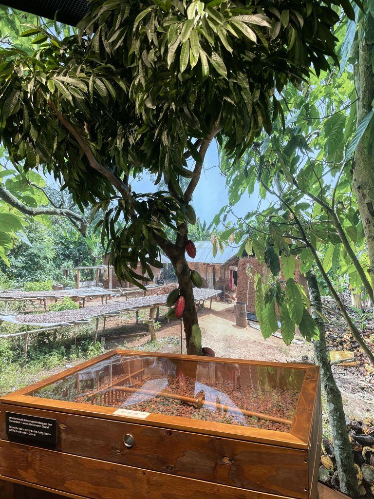 im Vordergrund eine Kiste zum TRocknen von Kakaobohnen. Dahinter ein künstlicher Kakaobaum.