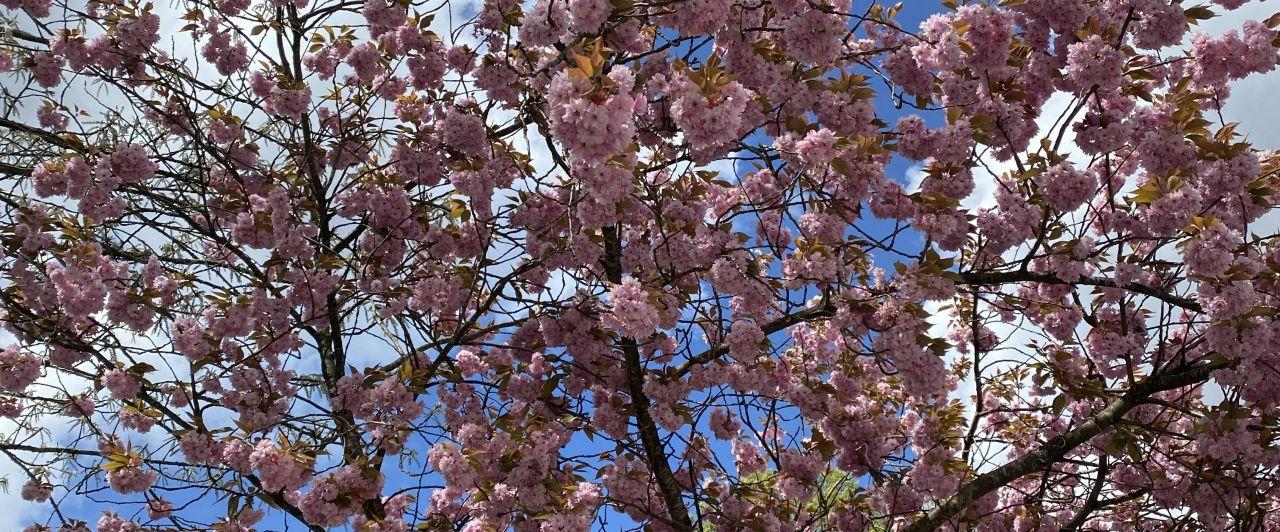 kirschblüte schweden