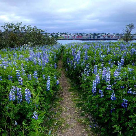 Im Juli blühen die Lupinen in Island. Zu den stnst schwarzen Felsen und…