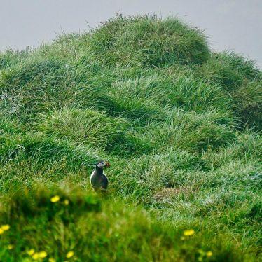 Puffin!!!#ErlebeEs #Puffin #Papageientaucher #Island #Reisen