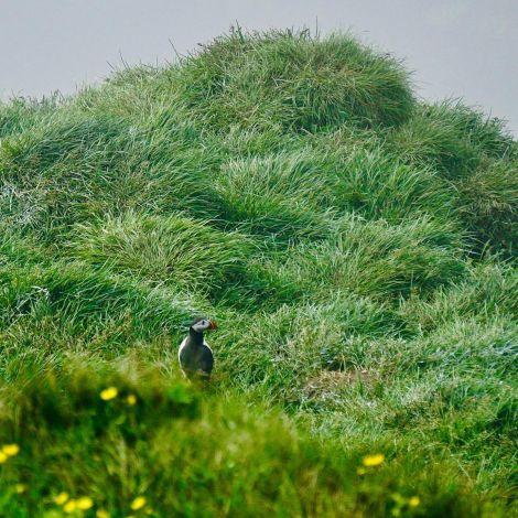 Puffin!!!  #ErlebeEs #Puffin #Papageientaucher #Island #Reisen