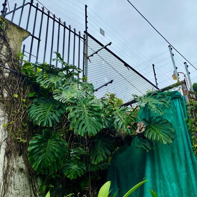 Eine große Monsterapflanze wächst am Straßenrand