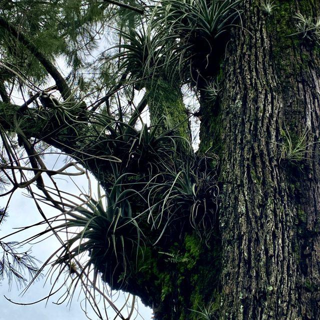 An einem großen Baum wachsen viele Tillandsien.