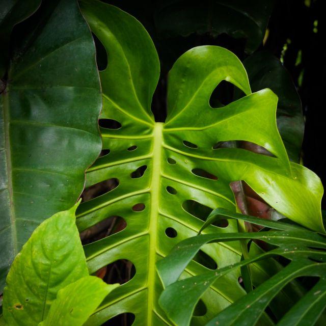 Ein saftiggrünes Blatt einer Monstera in Nahaufnahme