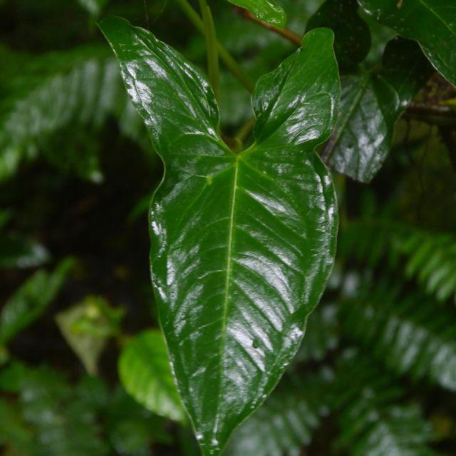 Ein dunkelgrünes Blatt glänzt vor Feuchtigkeit