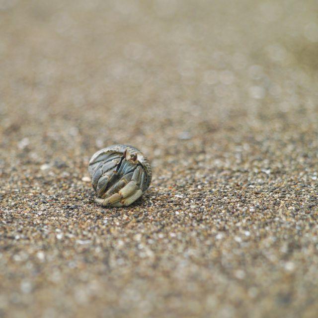 Ein Einsiedlerkrebs kommt vorsichtig aus seiner Muschel heraus.