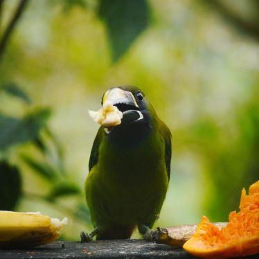 Was ist grün, isst gerne Früchte und kann ziemlichen Lärm veranstalten?…