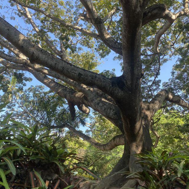 Der jahrhundertealte Ceiba-Baum